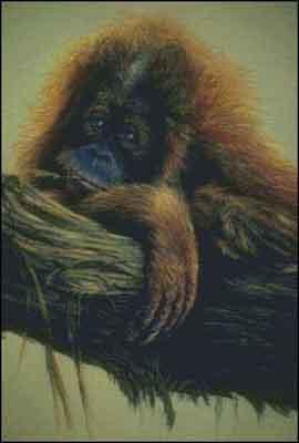 s02-158 Орангутан