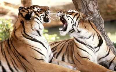 s02t-005 Тигры