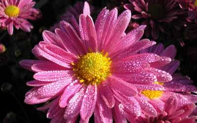 s07he-010 Хризантемы