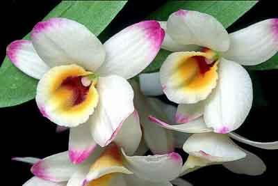 s07or-001 Орхидеи