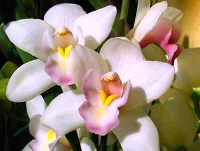 s07or-006 Орхидея