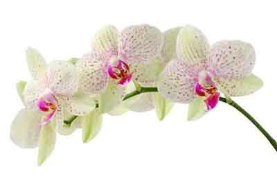 s07or-008 Орхидеи