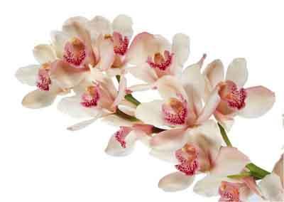 s07or-010 Орхидеи