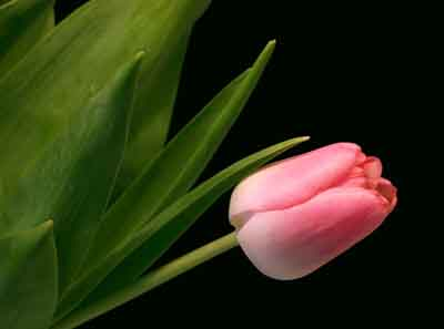 s07tu-004 Тюльпан