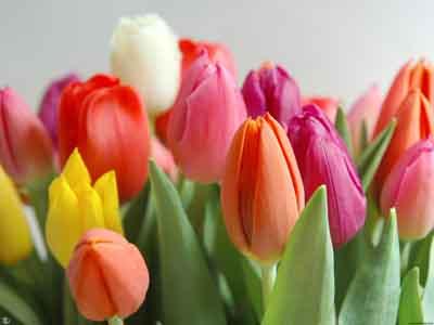s07tu-011 Тюльпаны