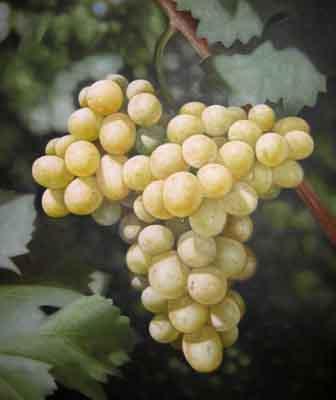 s07vn-007 Виноград