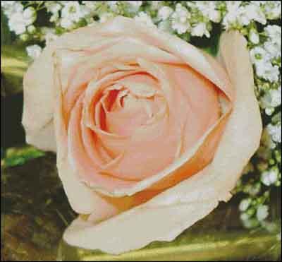 s08-007 Роза