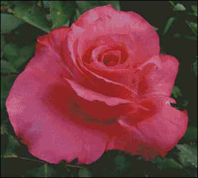 s08-030 Роза