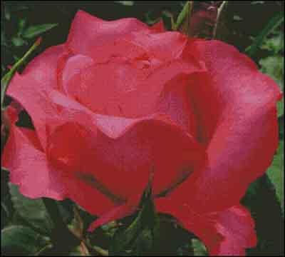s08-031 Роза