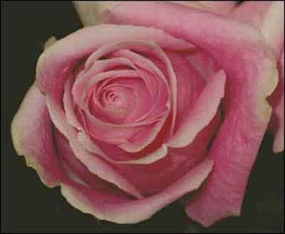 s08-041 Роза
