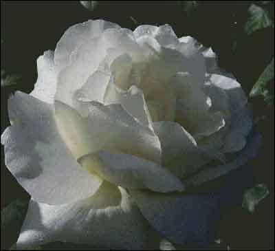 s08-046 Роза