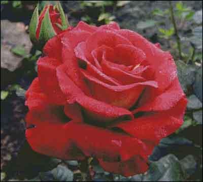s08-047 Роза