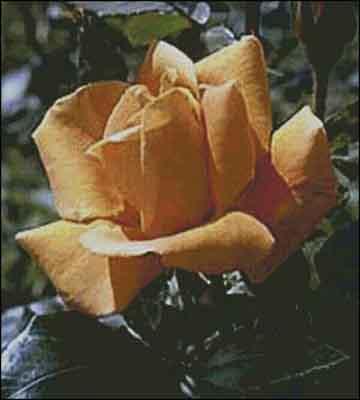 s08-057 Роза