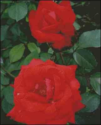 s08-059 Розы