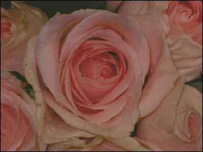 s08-082 Розы