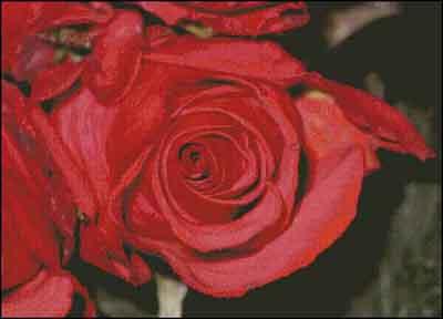 s08-086 Розы