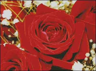 s08-091 Розы