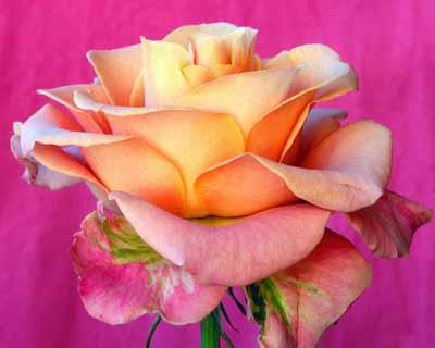 s08r-011 Роза